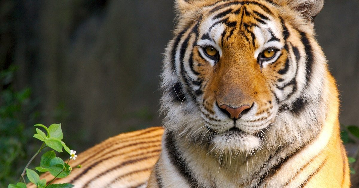 Resultado de imagen para Tigre