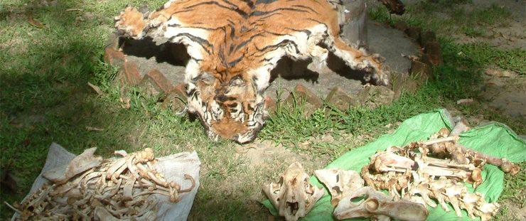 Caza Furtiva De Tigres :: Imágenes Y Fotos