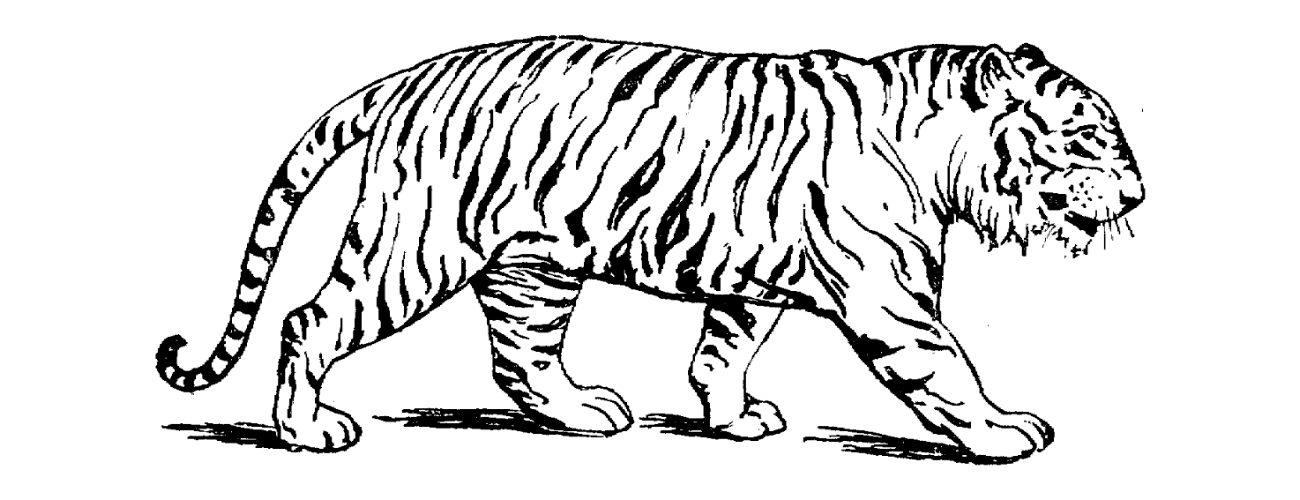 Dibujos De Tigres Para Colorear :: Imágenes Y Fotos