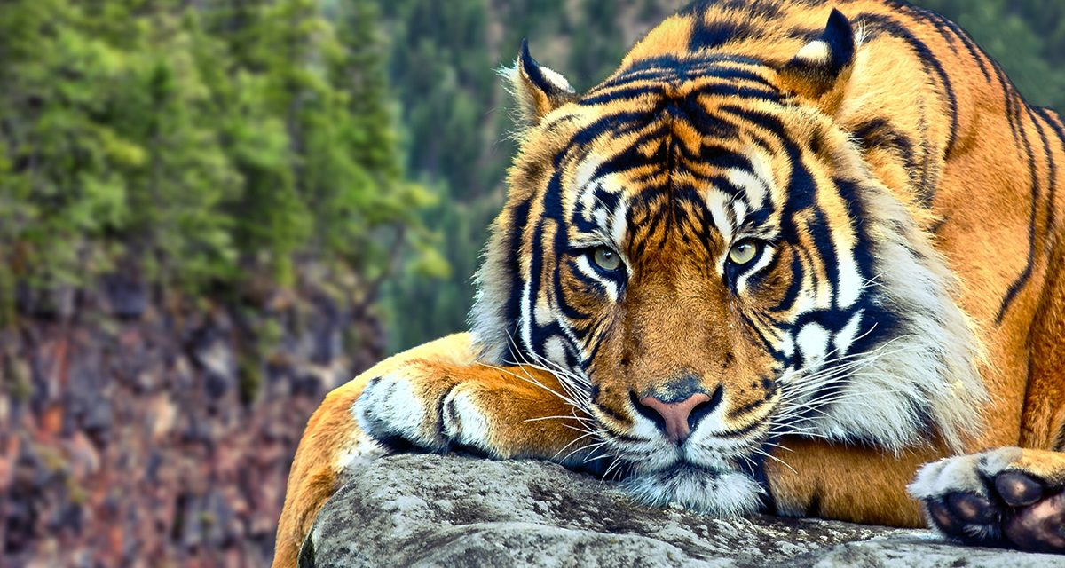 Tiger Animals Baby Animals Nature Wallpapers Hd: Guía Sobre Los Tigres :: Imágenes Y Fotos