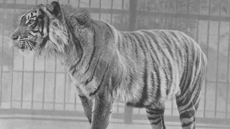 Javan tiger in London zoo before 1942 |  wikipedia