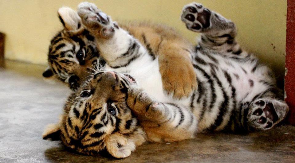 Nacimiento de los cachorros de tigre
