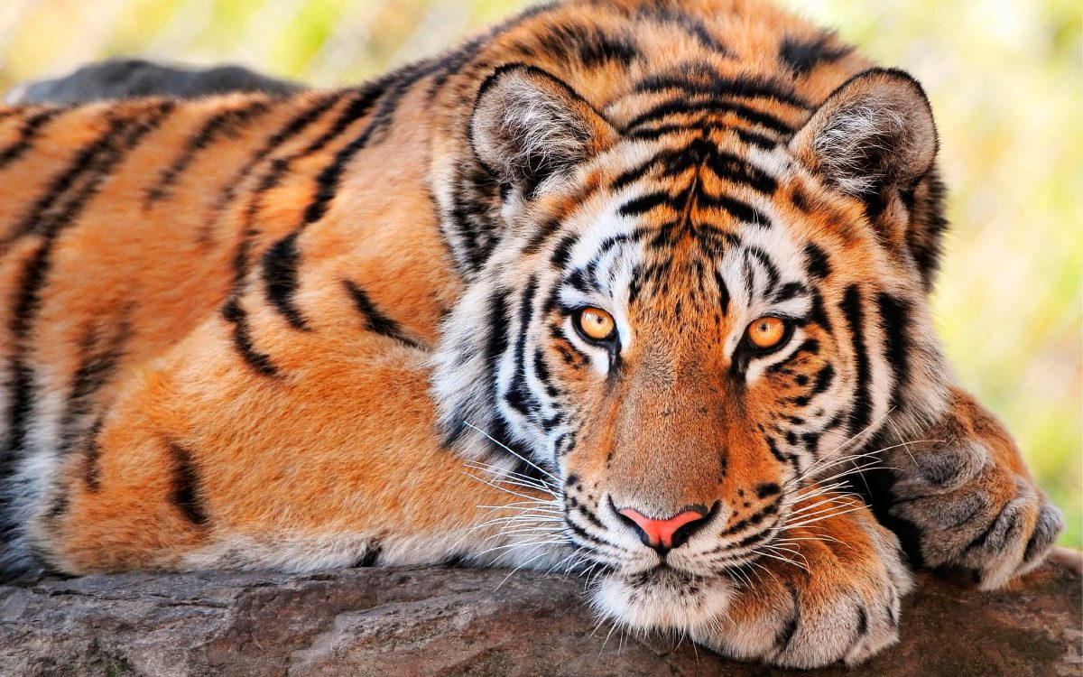 Ojos De Los Tigres :: Imágenes Y Fotos