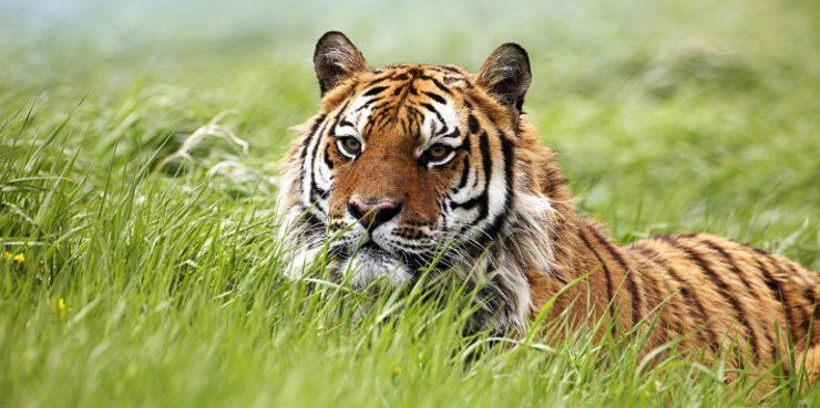 Fotos de tigres siberianos 56
