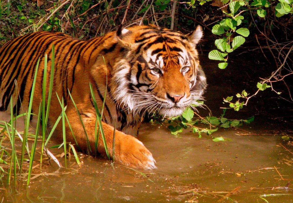 Tigre cazando :: Imágenes y fotos