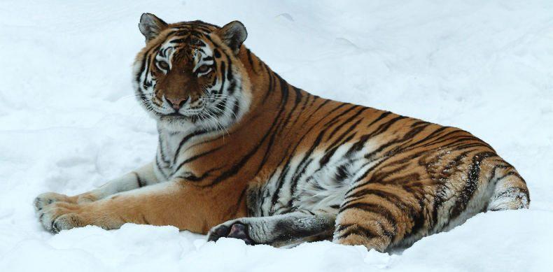 Fotos de tigres siberianos 43