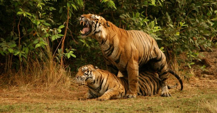 Tigres de bengala - Imagenes de animales apareandose ...