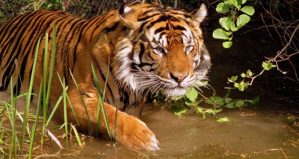 Tigres De Indochina