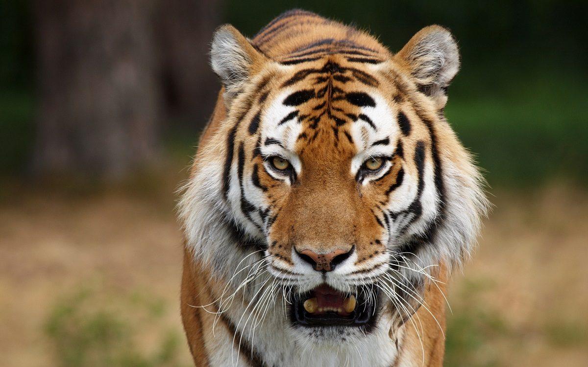 Tigres: guía de especies, información, galerías de fotos y ...