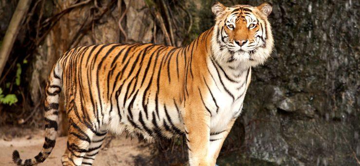 Fotos de tigres siberianos