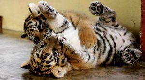 Tigre de bengala blanco reproduccion asexual en